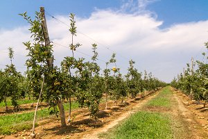 Apple trees lined up in a farming 2