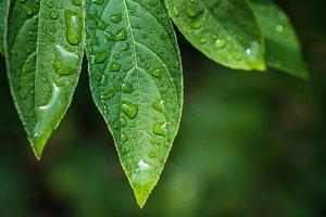 Rainy leafes