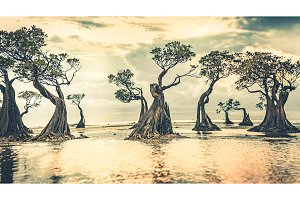 Mangrove trees at the sunset. Sumba