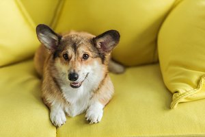 cute corgi dog lying on yellow couch