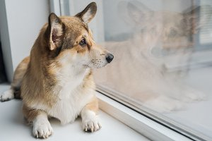 cute corgi dog lying on windowsill a