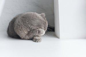 close-up shot of adorable grey cat l