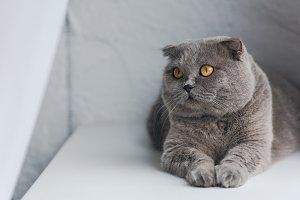 close-up shot of cute grey cat lying