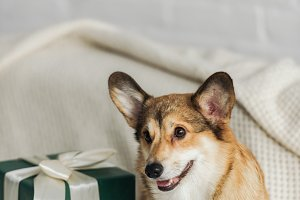 cute corgi dog with gift box standin