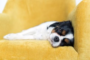 Portrait of a dog on yellow sofa