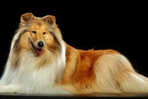 Collie Dog on Isolated Black