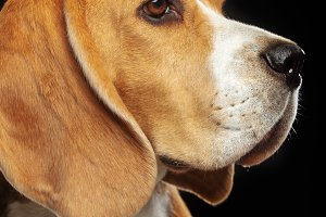 Beagle Dog  Isolated  on Black