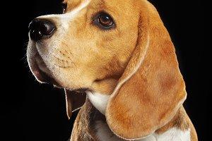 Beagle Dog  Isolated  on Black