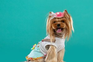 Yorkshire Terrier Dog  Isolated on B