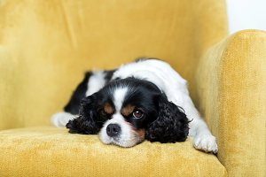 Portrait of a dog on a yellow sofa