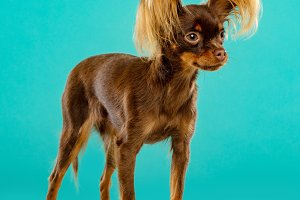 Toy Terrier Dog on Isolated Blue