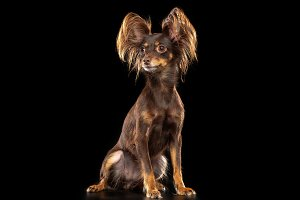 Toy Terrier Dog on Isolated Black