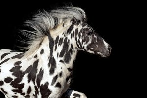 appaloosa pony on black background