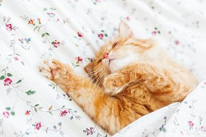 Cute ginger cat lying in bed under