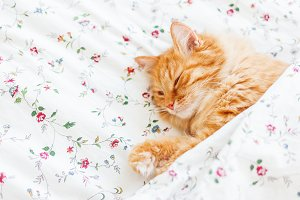 Cute ginger cat lying in bed
