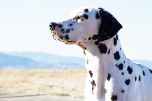 Dalmatian dog on the beach promenade