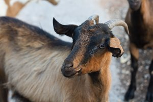 Domestic goats on Crete, Greece