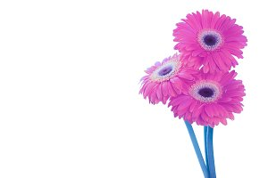 Pink gerbera flower on white