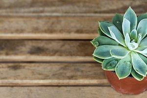 Organic Succulent Plant