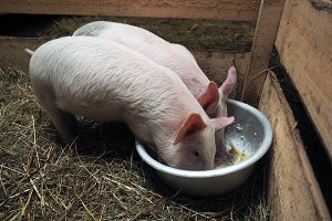 pigs eat feed from the pelvis in a