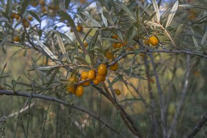 Branch of sea buckthorn in a garden