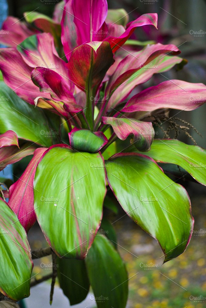 Red Sister Cordyline - Nature