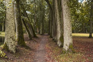 Ancient Park alley. Old lime trees