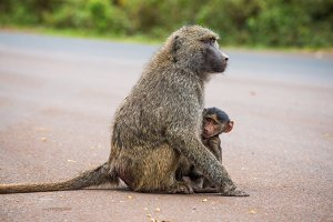 Olive baboon mother with its baby on