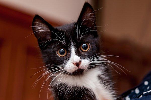 Animal Stock Photos: Photostock - Black and white kitten