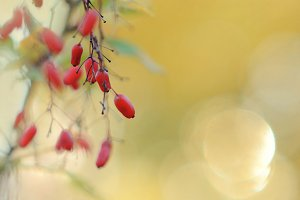 Barberry with a beautiful soft bokeh