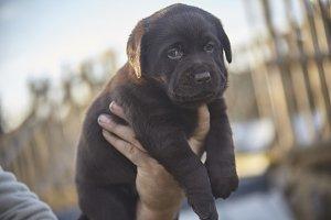 Portrait of a brown Labrador Puppy