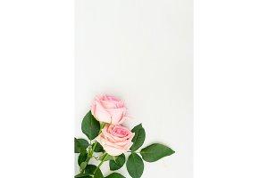 fresh rose flowers