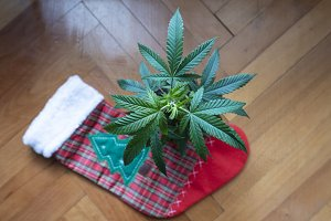 Christmas Cannabis Plant