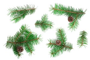 Fir tree branch with cones isolated