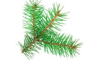 Fir tree branch isolated on a white