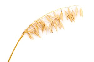 oat spike or ears isolated on white