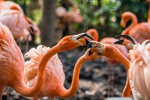 Flamingo birds close up