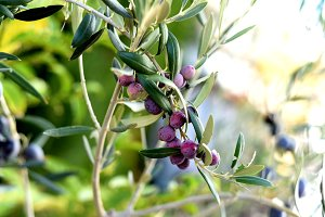 purple olives hanging on the branch