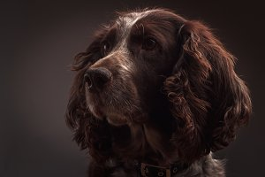 Brown spotted Russian cocker spaniel