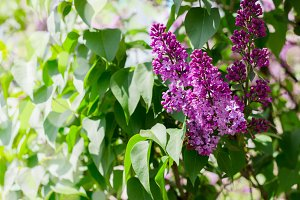 Close-up beautiful lilac flowers with the leaves.