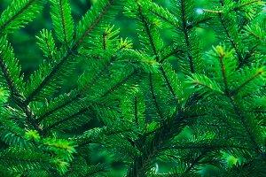 Green fir tree winter christmas
