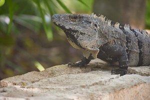 Close up of a green iguana