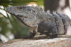 Green iguana of mexico
