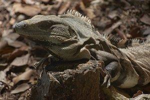 Green Iguana in the undergrowth