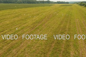 Birds fly over the field. Drone