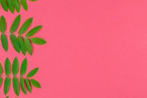 Green rowan tree leaves on bright pi
