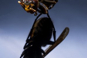 Flying wasp Vertical photo of wasp.