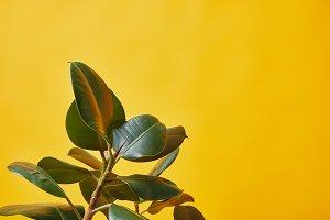 ficus green leaves