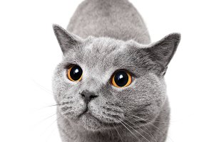 British shorthair cat on white backg