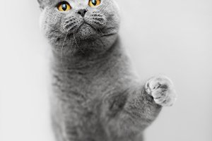Cute grey cat raising his paw, playi